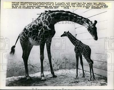 1965 Press Photo Giraffe and Colt Make Debut at Brookefield Zoo, Chicago
