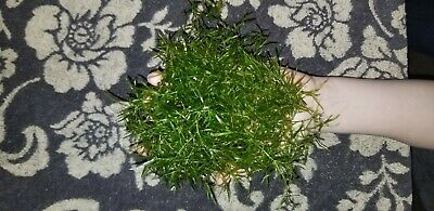 Guppy Grass Live Aquarium Plant (Najas guadalupensis)