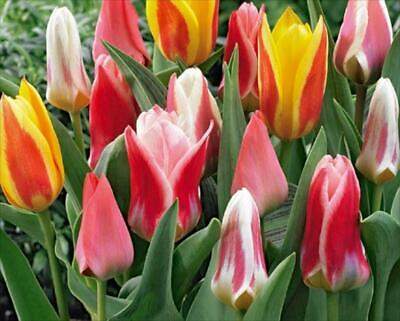 Pack 10 Dwarf Tulip Bulbs 'Greigii Mixed' WPC Prins Quality Spring Bulbs
