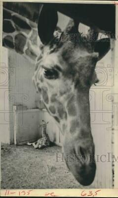 1967 Press Photo Mama giraffe blocks view of new baby Twiga - Philadelphia Zoo
