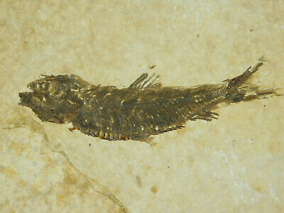 A Small 50 Million Year Old Restored Knightia Fish Fossil From Wyoming! 126gr e