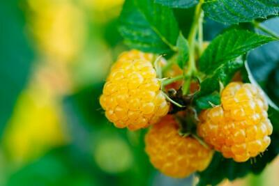 Yellow Raspberry 10 Seeds - Delicious,Long Season of Fruiting,Heavy Crop