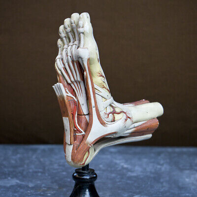 19th Century Anatomical foot model, 19th century hand painted