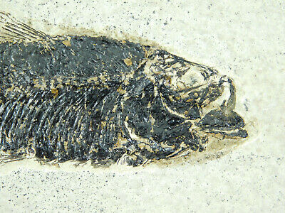 A 100% Natural 50 Million Year Old Knightia Fish Fossil From Wyoming! 453gr e