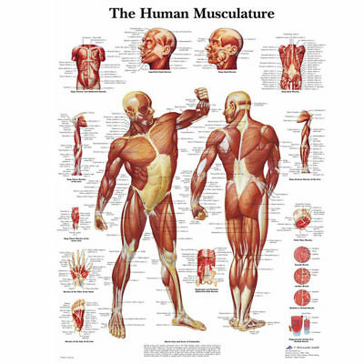 Human Body Muscle Anatomy System Poster Anatomical Chart Educational Poster Well