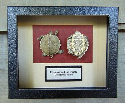 E513) Real Taxidermy Mississippi Map Turtle Hatchling 5 X 6 framed display USA
