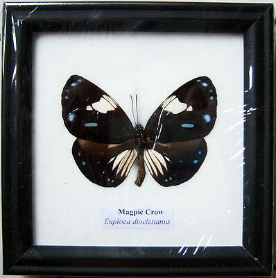 Framed Real Beautiful Magpie Crow Butterfly Display Insect Taxidermy