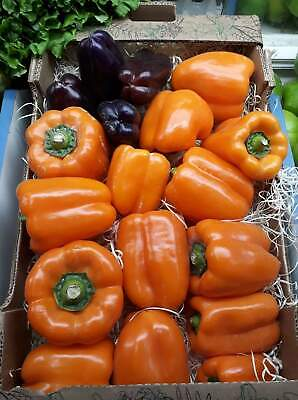 Pimiento naranja    pepper  50 Semillas  / Seeds