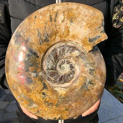 26.96LB whole natural ammonite fossil conch crystal specimen healing B291