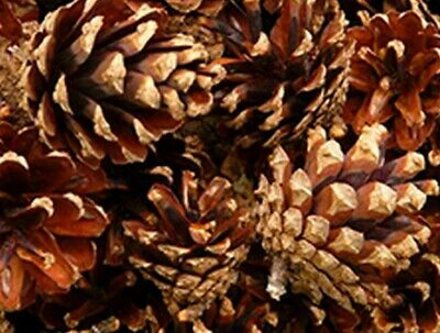50 Natural Hand-picked Pinecones, for Holidays, crafts, and much MORE!