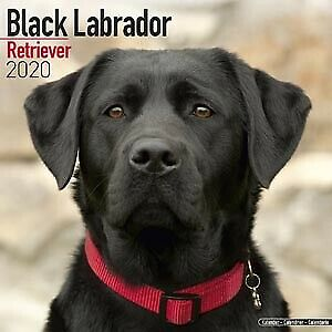 BLACK LABRADORS 2014 UK SQUARE WALL CALENDAR BRAND NEW AND SEALED BY MAGNUM