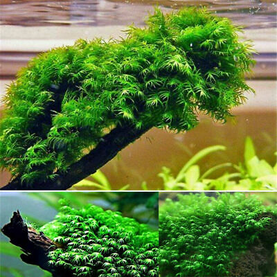 500PCS Pearl Moss Seeds Ornamental Plants Water Grass Live Aquarium Plants JS