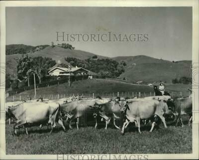1951 Press Photo A herd of cows at a pasture land in Oruru Valley, New Zealand