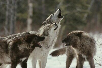 Wolf Pack Howling 8x10 Picture Celebrity Print