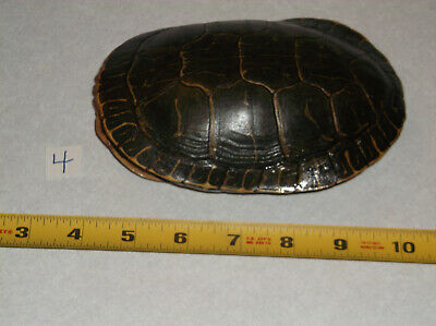 Painted Turtle Shell,Science Biology Slider,Reptile,taxidermy,Chrysemys picta