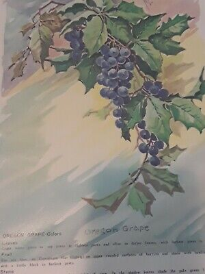 #51 Grapes  China Painting Study by Jean Sadler 1967