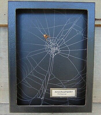 E716) Real Arrowhead Spider on actual Web 6X8 framed taxidermy display USA mount