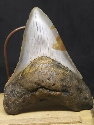 "Bin27.   3.40""  Megalodoni Shark Tooth Fossil 100% Authentic **Free Shipping"