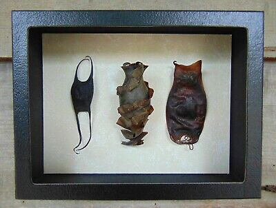 Mermaid's Purse Collection real shark ray egg case comparison set Taxidermy 6X8