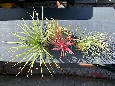 Air plants (Tillandsia) Ionantha 3x  plant mix Red,Green,Rubra