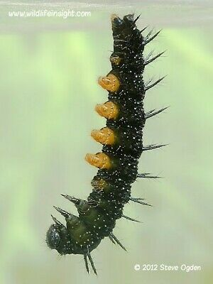 40x Live Food Peacock Butterfly Eggs