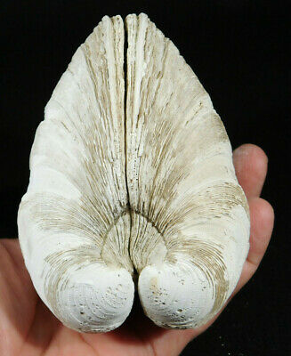 A HUGE! 2 Million YEAR Old 100% Natural Mercenaria CLAM Fossil Florida 537gr