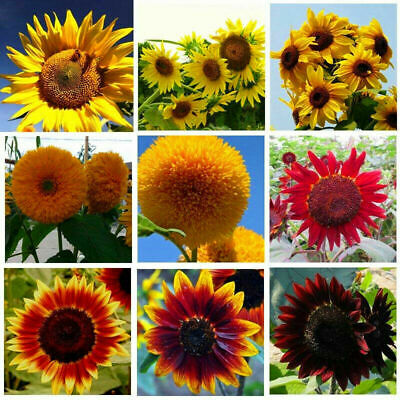 40Pcs Red Large Sunflower Seeds Red Great Fortune Flower Seeds Garden Decor New