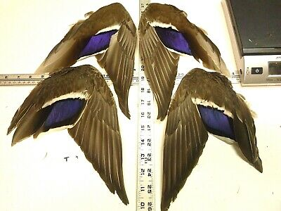 Details about  /GREEN WING TEAL DUCK DRAKE 80+PK STRIPED BACK FEATHER PLUCK A+FLY TYING FEATHERS