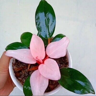 3 philodendron pink congo fresh good plant with phytosanitary tropical plant